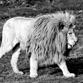 lion blanc||<img src=_data/i/galleries/stock_animalier_et_qq_paysages/DSCF3011_LR1_NB_BDef-th.jpg>
