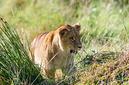 ANS0756 lr Parc des Felins 2012 lionceau
