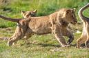 ANS0760 lr Parc des Felins 2012 lionceau