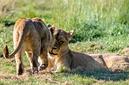 ANS0763 lr Parc des Felins 2012 lionceau