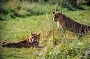 ANS0771 lr Parc des Felins 2012 lionceau