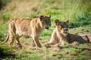 ANS0773 lr Parc des Felins 2012 lionceau