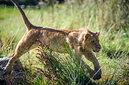 ANS0777 lr Parc des Felins 2012 lionceau