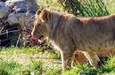 ANS0787 lr Parc des Felins 2012 lionceau
