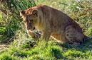 ANS0792 lr Parc des Felins 2012 lionceau