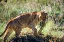 ANS0798 lr Parc des Felins 2012 lionceau