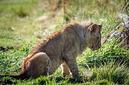 ANS0800 lr Parc des Felins 2012 lionceau
