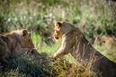 ANS0804 lr Parc des Felins 2012 lionceau