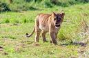 ANS0807 lr Parc des Felins 2012 lionceau