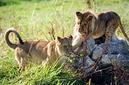 ANS0815 lr Parc des Felins 2012 lionceau