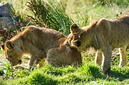 ANS0831 lr Parc des Felins 2012 lionceau
