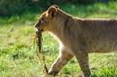 ANS0837 lr Parc des Felins 2012 lionceau