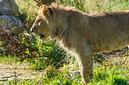 ANS0839 lr Parc des Felins 2012 lionceau