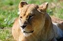 ANS0841 lr Parc des Felins 2012 lionne