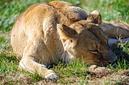 ANS0843 lr Parc des Felins 2012 lionne