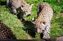 ANS0864 lr Parc des Felins 2012 panthere de Perse