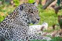 ANS0882 lr Parc des Felins 2012 panthere de Perse