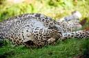 ANS0883 lr Parc des Felins 2012 panthere de Perse