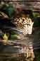 ANS0886 lr Parc des Felins 2012 panthere de Perse