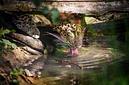 ANS0890 lr Parc des Felins 2012 panthere de Perse