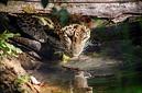 ANS0891 lr Parc des Felins 2012 panthere de Perse