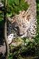 ANS0896 lr Parc des Felins 2012 panthere de Perse