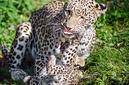 ANS0902 lr Parc des Felins 2012 panthere de Perse