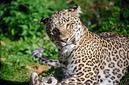 ANS0917 lr Parc des Felins 2012 panthere de Perse