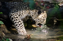 ANS0933 lr Parc des Felins 2012 panthere de Perse