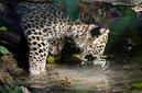 ANS0935 lr Parc des Felins 2012 panthere de Perse