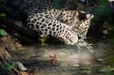 ANS0936 lr Parc des Felins 2012 panthere de Perse