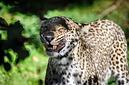 ANS0937 lr Parc des Felins 2012 panthere de Perse