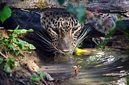 ANS0942 lr Parc des Felins 2012 panthere de Perse