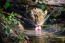 ANS0946 lr Parc des Felins 2012 panthere de Perse