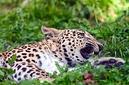 ANS0955 lr Parc des Felins 2012 panthere de Perse
