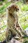ANS1099 lr Parc des Felins 2012 bebe guepard