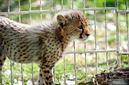 ANS1100 lr Parc des Felins 2012 bebe guepard