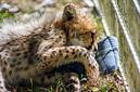 ANS1104 lr Parc des Felins 2012 bebe guepard
