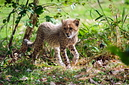 ANS1139 lr Parc des Felins 2012 bebe guepard