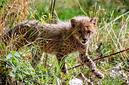 ANS1141 lr Parc des Felins 2012 bebe guepard