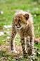 ANS1143 lr Parc des Felins 2012 bebe guepard