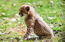 ANS1145 lr Parc des Felins 2012 bebe guepard