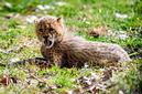 ANS1153 lr Parc des Felins 2012 bebe guepard