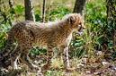 ANS1159 lr Parc des Felins 2012 bebe guepard