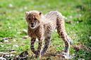 ANS1161 lr Parc des Felins 2012 bebe guepard
