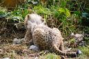 ANS1163 lr Parc des Felins 2012 bebe guepard