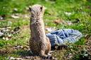 ANS1173 lr Parc des Felins 2012 bebe guepard
