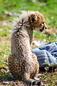 ANS1174 lr Parc des Felins 2012 bebe guepard
