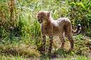 ANS1178 lr Parc des Felins 2012 bebe guepard