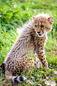 ANS1182 lr Parc des Felins 2012 bebe guepard